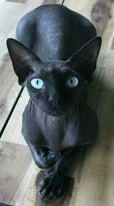 Untitled Hairless Cat Ideas of Hairless Cat Untitled The po - Hairless Cat - Ideas of Hairless Cat - Untitled Hairless Cat Ideas of Hairless Cat Untitled The post Untitled appeared first on Cat Gig. The post Untitled Hairless Cat Ideas of Ha Pretty Cats, Beautiful Cats, Animals Beautiful, I Love Cats, Crazy Cats, Cool Cats, Gato Sphinx, Cute Hairless Cat, Animal Gato