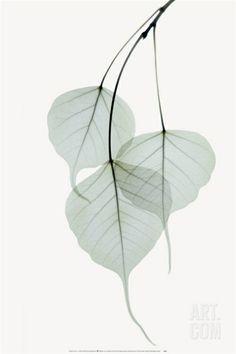 Bo Tree Print by Albert Koetsier at eu.art.com
