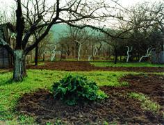 Garten mit gekälkten Obstbäumen, Dijon (2009)