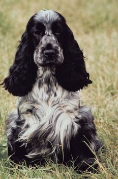 The English cocker spaniel retains more of its hunting nature than does the American version, and it also needs a little more exercise. It is cheerful, inquisitive, demonstrative, devoted, biddable, loyal and sensitive. This is a sociable dog that likes to stay close to its human family.