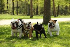 English & French Bulldogs ~ Carlos and friends
