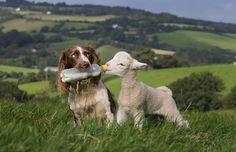 Esta Springer Spaniel llamada Jess, es una gran ayuda para su dueño en una granja del Reino Unido.