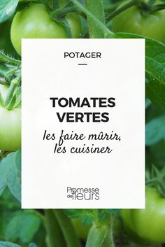 As do the tomatoes still green in late summer check out how to ripen and cook them. Permaculture, Green Tomatoes, Late Summer, Horticulture, Vegetables, Cooking, Plants, How To Make, Gardening