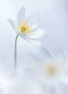 Photograph Wood Anemone in white by Jeffrey Van Daele on Flowers Nature, Exotic Flowers, Fresh Flowers, Beautiful Flowers, Wood Anemone, Flower Market, World Of Color, Water Lilies, Flower Wallpaper
