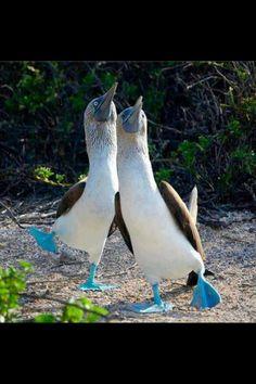 Boobie Birds