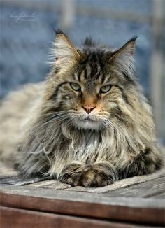 Kio http://www.mainecoonguide.com/maine-coon-personality-traits/