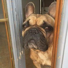 Fidji (@fidji_the_bulldog) | Instagram photos and videos