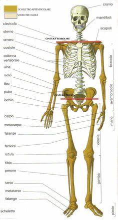 lo scheletro è formato da 206 OSSA, CARTILAGINE e ARTICOLAZIONI. Rappresenta l'organo passivo del movimento fornendo la base d'inserzione ai muscoli che ne costituiscono la parte attiva.