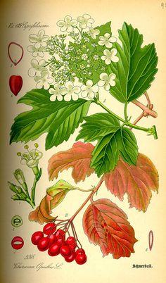 HIGHBUSH CRANBERRY VIBURNUM EDULE FLOWERS | Flora von Deutschland Österreich und der Schweiz (1885), Prof. Dr ...