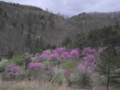 Red buds on Pine Mountain, KY