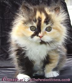 Is there anything cuter than a Calico Persian Kitten?  I don't think so.