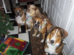 Ottaway Babies: Caesar (Boxer) Camo (Aussie) Bally (Boxer) Crewman (Border Collie/German Shepherd Mix)