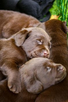 A Litter of Adorable Sleepy Little Chocolate Labrador Retriever Puppies Cuddled together to keep each other warm