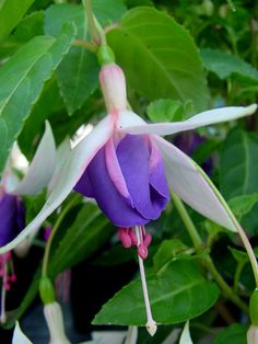Oostveens Thymen Fuchsia Plant, Fuchsia Flower, Freesia Flowers, Flower Fairies, Container Plants, Hanging Baskets, Trees To Plant, Hibiscus, Gardening Tips