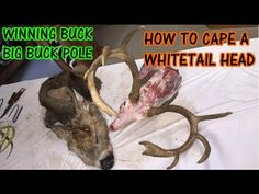 DIY How to Cape a Trophy Whitetail Deer Head for Mounting - YouTube