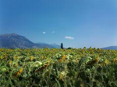 Heliotropium near Kaimaktsalan,Greece