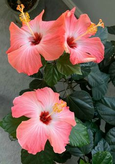 Learn how to grow hibiscus flowers outdoors and indoors and care for the plants Growing Hibiscus, Hibiscus Tree, Hibiscus Garden, Hibiscus Plant, Growing Roses, Hibiscus Flowers, Cactus Flower, Flowers Nature, Exotic Flowers