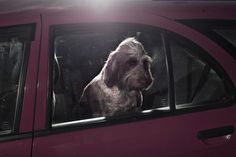 "Photographer Martin Usborne captures ""The Silence of Dogs in Cars"""