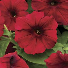 Easy Wave Red Velour is a trailing petunia from seed with velvety blooms in huge numbers. Quick and easy, this annual blooms nonstop all summer and into fall. Great for baskets and windowboxes!