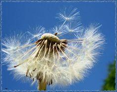 - Dandelion, Flowers, Plants, Dandelions, Plant, Taraxacum Officinale, Royal Icing Flowers, Flower, Florals