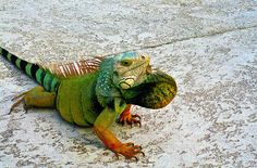 Iguana by ERubik.deviantart.com