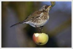 Kramsvogel - Fieldfare 22-27 cm #doortrekker #metgeluid