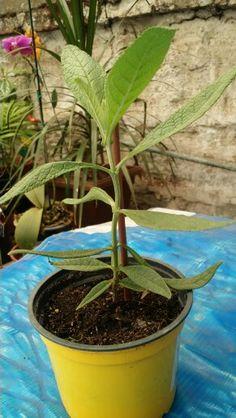 """"""" MATICO """"  Piper aduncum, llamada popularmente matico, hierba del soldado, achotlín o cordoncillo, es un árbol perenne de la familia de la pimienta (piperácea). Crece silvestre en costas y selvas de Centroamérica y Suramérica y en los valles interandinos. *Usos:  -Culinarios: Como muchas especies de la familia, este árbol tiene el característico olor a pimienta. Los frutos se utilizan como condimento y como sustituto de Piper longum (pimienta larga). -Etnomedicinal: Esta planta contiene… Natural Health, Nature, Vegetables Garden, Herbal Medicine, Jungles, Fungi, Foods, The Great Outdoors"""