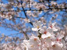 #japan #cherryblossoms #kansai #hyogo 日岡山公園