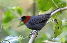 Foto cabecinha-castanha (Pyrrhocoma ruficeps) por Paulo Buchabqui Rodrigues | Wiki Aves - A Enciclopédia das Aves do Brasil