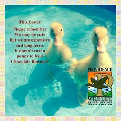Domestic/pet ducks are a 10-12 year commitment.
