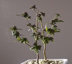Re-vegging is a way to get more than one harvest from your most favorite marijuana plants. Read how to do re-vegging the right way, right now! Marijuana Plants, Cannabis Plant, Cannabis Cultivation, Cannabis Edibles, Bonsai, Grow Room, Organic Soil, Ganja, Hemp