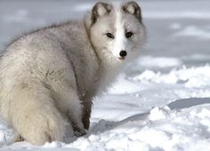 The Arctic fox has the warmest fur of all mammals, even warmer than those of the polar bear and the Arctic wolf. Arctic Animals, Arctic Fox, Animals And Pets, Baby Animals, Cute Animals, Arctic Tundra, Wild Animals, Vida Animal, Mundo Animal