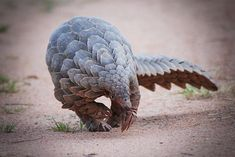 Pangolins (Scaly Anteaters are being illegally poached in the millions and are critically endangered.