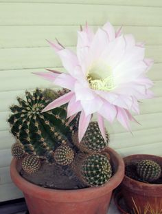Echinopsis eyriesii House Plants, Pretty Flowers, Planting Flowers, Flower Pots, Succulents Garden, Beautiful Flowers, Cacti And Succulents, Orchids, Blooming Cactus