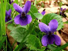 viola-mammola (700x525, 504Kb)
