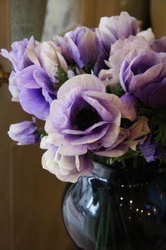 anemones bi-color blue