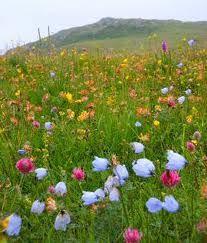 machair in flower - Google Search