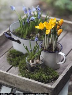 Spring Vignette - Old tray with moss and pots of bulbs - Mascara and Crocus!