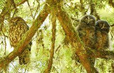 Ruru or Morepork and two chicks in the Eglinton Valley, Fiordland, New Zealand. New Zealand Tattoo, Wise Owl, Wildlife Nature, Tatoos, Tattoo Life, Homeland, Flora, Gardens, Birds