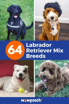 """64 #Labrador #Retriever #Mixes: Great #Lab #Cross #Breeds Lists. Awww! A face every Mama will love. #Labrador #Retriever #Mix #Breeds are so smart. Of course, he would get you to laugh and give in for some additional #dog #biscuits. He would look at you as if to say, """"Me? I am a city #pup. I thought you wanted to smell the fresh air. I do not #hunt."""" Let's have look at the list of lovely  #Labrador #Retriever #mix #breed #dogs. #Afador (Afghan Hound Dog Breeds List, Large Dog Breeds, Big Dog Little Dog, Big Dogs, Dalmatian Mix, Cocker Spaniel Mix, Dog Crossbreeds, Rottweiler Mix, Afghan Hound"""