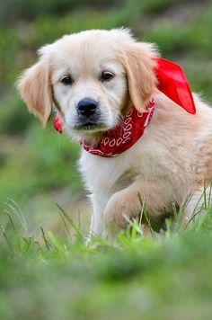 A blog dedicated to our furry, golden friends! Some great sites to check out: Land of Pure Gold...