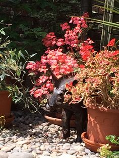 The warthog between the geraniums