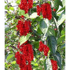 Vitafit-Beere® - Schisandra chinensis  Erntezeit: September  Höhe: 600cm (Kletterpflanze )