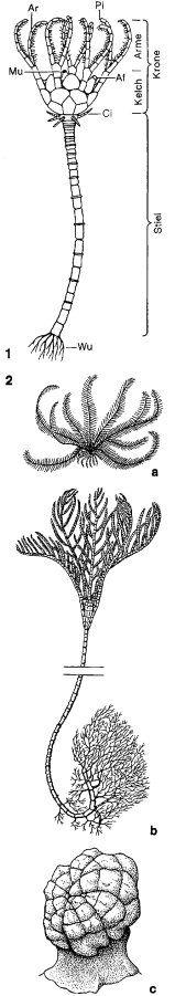 Seelilien - Lexikon der Biologie