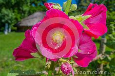 Pink mallow flowers in the garden on a sunny day.