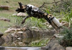 An African painted dog leaps over water in the new Painted Dog Valley exhibit just opened to the public at Cincinnati Zoo. There are only ab...