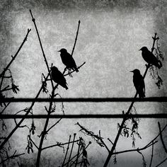 Four Blackbirds Photograph  - Four Blackbirds Fine Art Print
