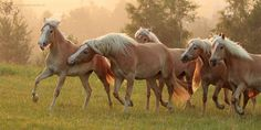 haflinger horses - Yahoo Image Search results