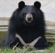 Moon bear, medium-sized (average 300lbs) Asian black bear, most bipedal of the bears. Usually have 2 cubs every 2-3 years.