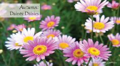 Traditionally seen as a symbol of innocence, daisies offer so much in the way of variety that there's one for everyone, whatever your style. They're also so easy to grow and care for, it's little wonder they're an enduring favourite. #aboutthegarden